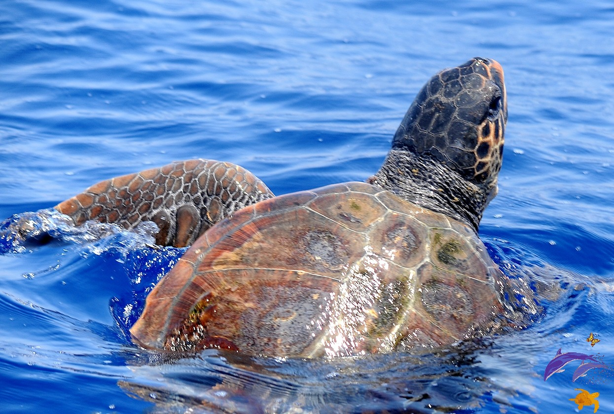 1LoggerheadTurtle in Maltese waters_ADRIANA VELLA